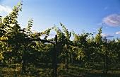Reben in einem Weinberg im Collio (Friaul), Nordostitalien