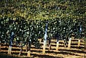 Reben mit Sangiovese im Gebiet des Chianti Classico, Italien