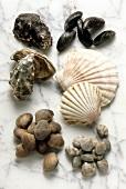 Muscheln: Mies-, Jacobs-, Venus-, Herzmuscheln & Austern