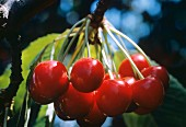 Cherries Hanging From the Branch