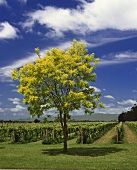 Vineyard of Ngatarawa Estate in Hawke's Bay region, N. Zealand