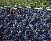 Cabernet Sauvignon nach der Weinlese in St-Julien, Bordeaux