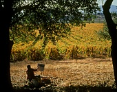 Picturesque autumn colours in Napa vineyard, California