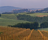 Young vineyard outside the spa town of Chianciano near Montepulciano