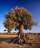 Old Olive Tree in Sicily