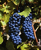 Syrah grapes (Shiraz) in Tain-l'Hermitage, Rhone valley, France