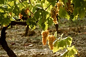 Semillon grapes produce a fruity dry white wine