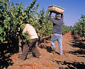 Sauvignon-Blanc harvest near Rutherford, Napa Valley, USA