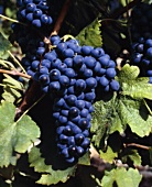 Syrah (or Shiraz) grapes producing dry, peppery wine