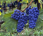 Clusters of Ripe Grapes on the Vine/nSee Image #114376