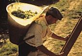 Weinbauer bei der Chasselas-Lese im Waadtland, Schweiz