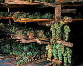 Trebbiano and Malvasia drying for Vin Santo, Tuscany