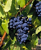 Carignan, the most marketable variety in Southern France