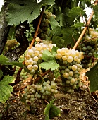 Viognier: this unusual variety produces fine, fragrant wine