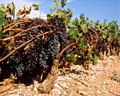Carignan, the most widespread grape variety in France