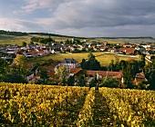 Herbst: Clos de Mesnil (Krug),edelster Weinberg der Champagne