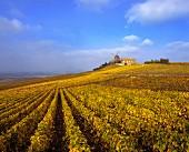 Pinot-Noir-Reben umgeben die Windmühle bei Verzenay,Champagne
