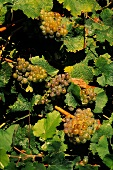 """Chenin Blanc - known as """"Steen"""" in South Africa"""