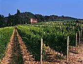 Vine rows near Cividale del Friauli, Colli Orientali, Italy