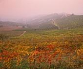 Herbstlicher Weinberg in den Langhe-Bergen,Barbaresco,Piemont