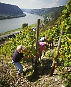 Grape picking in steep plot, St. Goarshausen on Middle Rhine