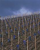 Young vines on slaty soil, Schwarzhofberg, Saar