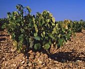 Rebstock mit Verdejo, der Traube in Rueda, Alt-Kastilien
