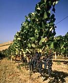 Weinreben in der Gegend von San Severo in Apulien, Süditalien