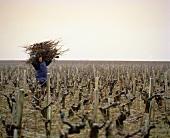 Sammeln der Äste nach Januar-Rebschnitt im Weinberg, Bordeaux