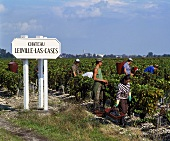 Grape-picking for Château Léoville-Las Cases, St-Julien, Bordeaux