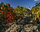 Vineyard of Chateau Cos d'Estournel, Bordeaux, in autumn