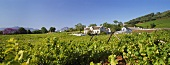 Vineyards around the Grande Roche Hotel near Paarl, S. Africa