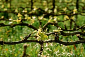 Spring growth on Chardonnay vine, Madeba Valley, S. Africa