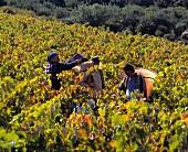 Carignan-Lese im Weinberg von Corbieres, Aude, Südfrankreich