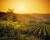 Sunset over vineyards near Poligny, AC Cotes de Jura