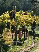Picking grapes for Vinho verde, the popular Portuguese wine