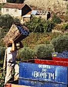Weidenkörbe im Einsatz bei Lese für Quinta do Bonfim,Portugal