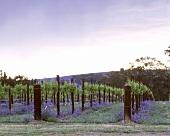 Frühlingsblüte im Weinberg von Pikes, Clare Valley,Australien