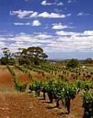 Weinberg von Gut Charles Melton im Barossa Valley, Australien