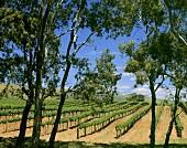 Weinberg an Krondorf Road bei Tanunda in Barossa, Australien