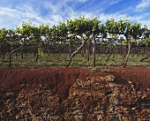 Soil profile of the famous red soil at Coonawarra, Australia