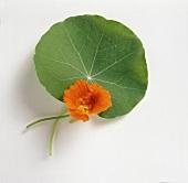 One Nasturtium and a Leaf