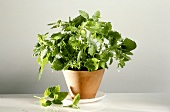 Lemon Balm Growing in a Clay Pot