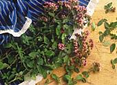 Oregano with Blossoms