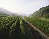 Morgendunst über herbstlichem Weinberg am Kaiserstuhl, Baden