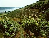 View of Hipping vineyard, Rheinhessen from Bruderberg