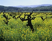 Mustard flowers in 100 year old Zinfandel vineyard,Sonoma V.USA