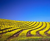 Mustard flowers in Los Carneros vineyard, Napa Valley, USA