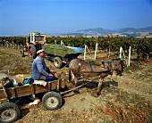 Bauer mit Esel bei der Chardonnay-Lese in Blatetz, Bulgarien
