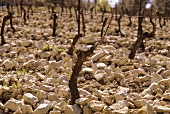 Stones characterise Chateauneuf-du-Pape wine region, Rhone